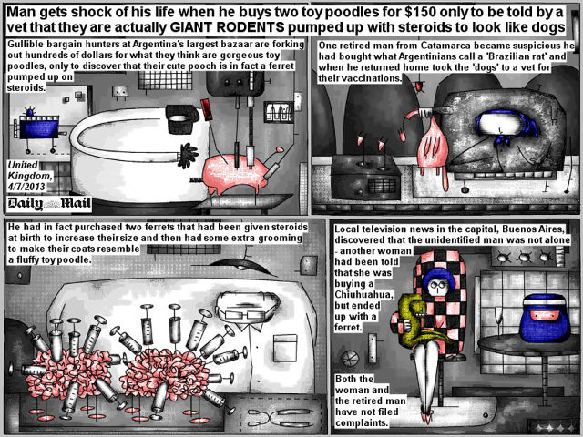 Bob Schroeder | Giant rodents pumped up with steroids | Man gets shock of his life when he buys two toy poodles for $150 only to be told by a vet that they are actually GIANT RODENTS pumped up with steroids to look like dogs. Gullible bargain hunters at Argentina's largest bazaar are forking out hundreds of dollars for what they think are gorgeous toy poodles, only to discover that their cute pooch is in fact a ferret pumped up on steroids. One retired man from Catamarca became suspicious he had bought what Argentinians call a 'Brazilian rat' and when he returned home took the 'dogs' to a vet for their vaccinations. He had in fact purchased two ferrets that had been given steroids at birth to increase their size and then had some extra grooming to make their coats resemble a fluffy toy poodle. Local television news in the capital, Buenos Aires, discovered that the unidentified man was not alone – another woman had been told that she was buying a Chiuhuahua, but ended up with a ferret. Both the woman and the retired man have not filed complaints.